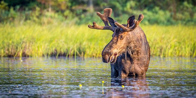 Algonguin_Park_Bull_Moose.325.2x1_tcm40-148869
