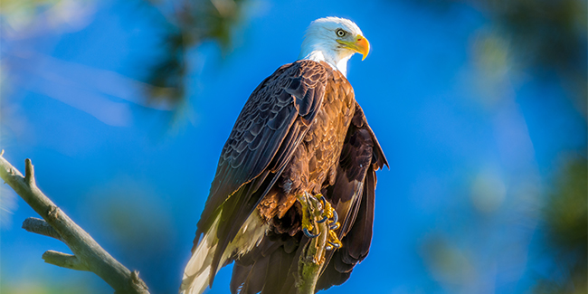 CC_Traverse_City_Bald_Eagle.325.2x1_tcm40-148870
