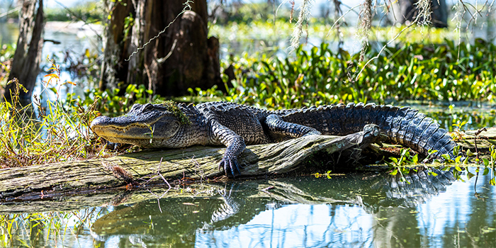 Louisiana_Bayou_Alligator_700x350_tcm21-155308